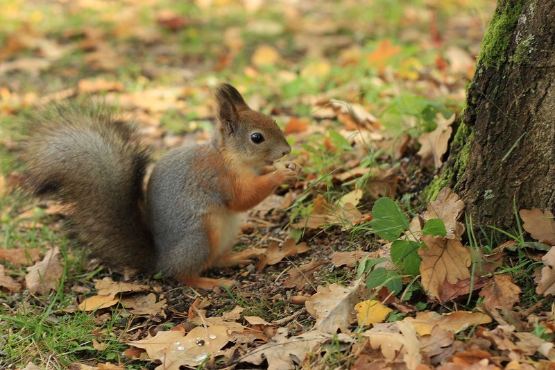 A squirrel eating on autumn leaves in Seurasaari. CC Matti Paavola.